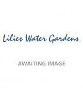 Dryopteris Erythrosora-plug plants